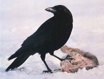 A crow in the snow with a dead animal