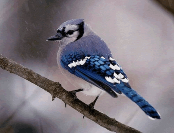 Blue jay on a branch