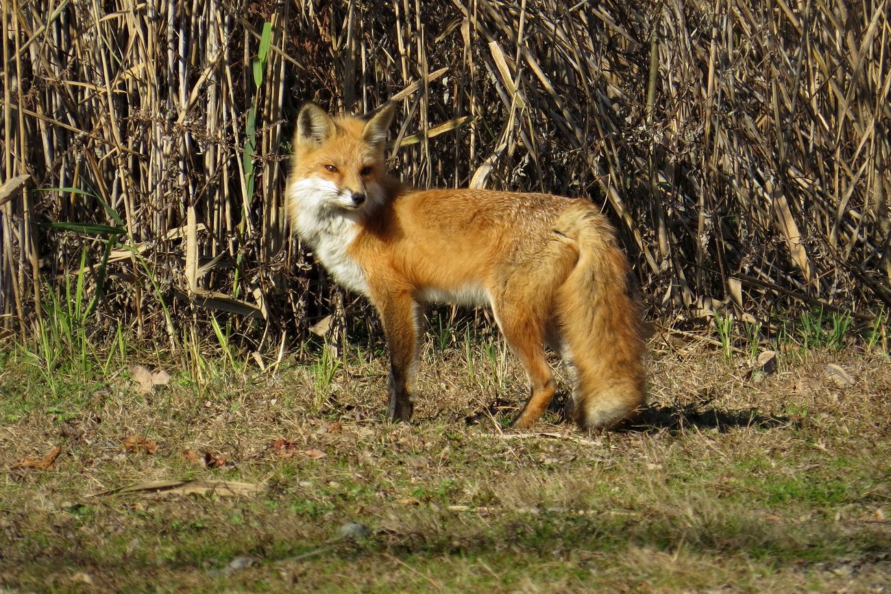 Red fox at Amico Island